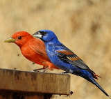 Red & Blue Tanager