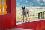 Dog-India-animal