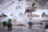 Jason Savage Photography Montana Mallards