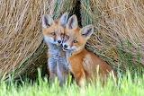 Guineus- Fox