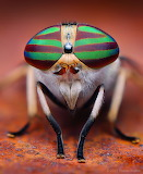 ^ Stripped Horse Fly
