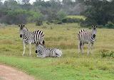 Zebra-3Friends
