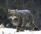 One Wildcat Species in Scotland