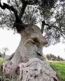 Trees - The Thinking Tree - Puglia Italy