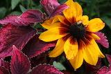 coleus and blanket flower