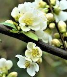 Evergreen rose on limb