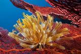 ^ Yellow Crinoid on Sea Fan, Marovo Lagoon, Solomon Islands