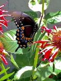 Black Swallowtail and Beebalm