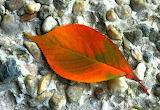 Weeping cherry leaf