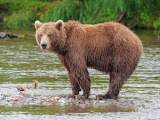brown bear,Kamchatka,Russia