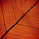 Red leaf veins