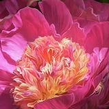^ Peony - flower of desire ~ Carol Cavalaris