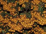 healthy food-firethorn fruit