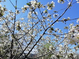 In my garden. April. Cherry blossoms