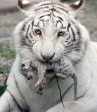 Umbilical Newborn Tiger Cub CC0