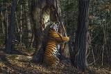 tree hugging tiger