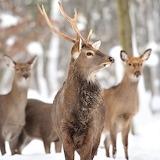 WM Deer 6
