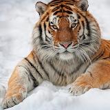 Siberian King...