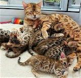 Bengal Family