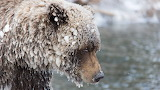 Grizzly bear in frost