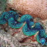 "Science tumblr noaasanctuaries ""giant clam"" ""Rose Atoll"" Samoa"