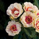 Bull's eye roses