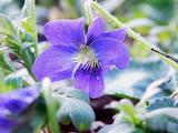 Wildflower Violet