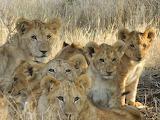 Solio Pride ~ Kenya