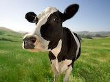 Vaca - Cow