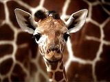 CuteBabyGiraffe