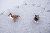Skating ducks