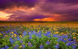 Sunset over field of flowers