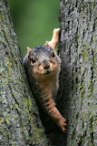 Peeping Squirrel