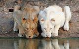 Two lions. Albino lion