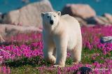 Polar-bear-in-the-flowers-12