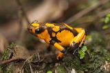 Columbian frog
