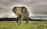 African-elephant-wallpapers-animal-backgrounds-desktop-93896
