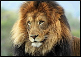 ~ The best looking lion in the world!
