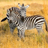 Zebras in Kenya, Africa from Microsoft Jigsaw by auricle99