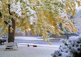Snowy Maple Tree...