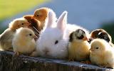 Rabbit-and-Chicken-1680x1050