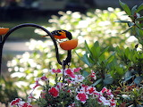 Baltimore Oriole Red and White Petunias