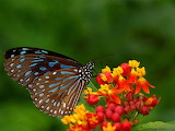 Butterflies-on-Flowers-Pictures