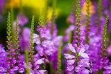 Flores violeta 3