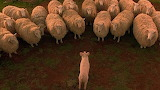 Babe Herds the Sheep 1280x720