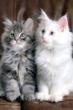 Tabby and White