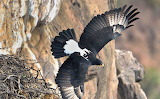 Falcon at Holts Ledge