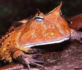 "Animals tumblr amnhnyc ""Horned Frog"" ""Photo- Bernard Dupont"""