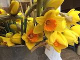 Sunny Cornish Daffodils