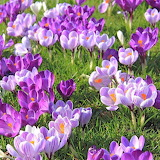 ^ Early bloomers - Crocus